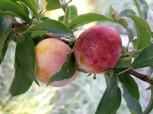 Слива персиковая: описание сорта с фото, характеристики, правила выращивания, отзывы