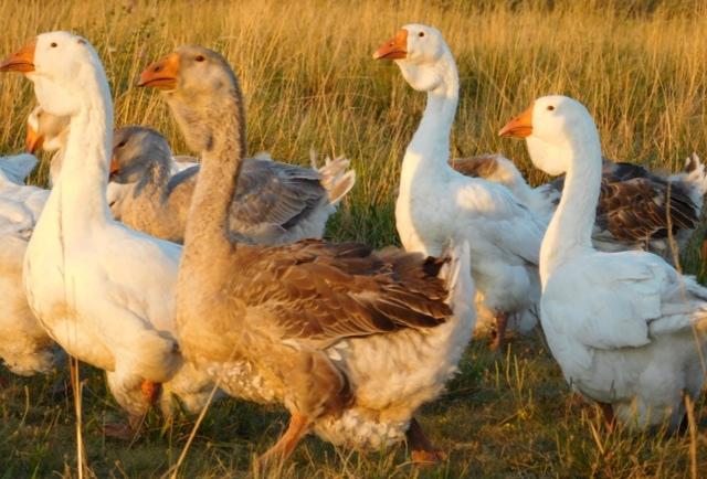 Холмогорские гуси: описание породы, достоинства и недостатки, фото, условия содержания, отзывы