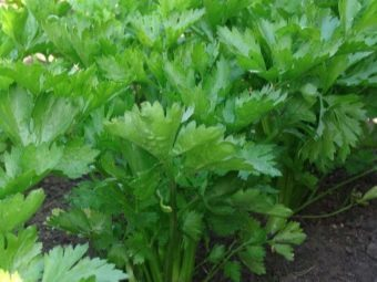 Листовой сельдерей: выращивание и уход