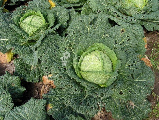 Болезни и вредители капусты: симптомы, методы борьбы и профилактика