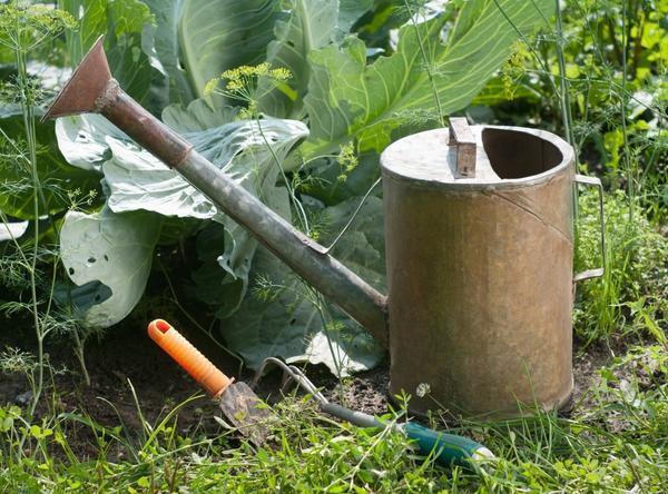 Полив капусты: способы, требования к воде, периодичность, интенсивность