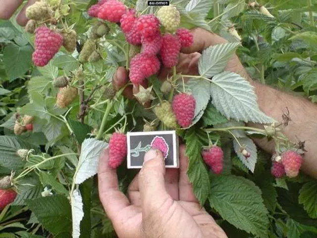Малина Крепыш: описание сорта, фото, выращивание, уход, отзывы