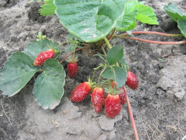 Клубника Купчиха: описание сорта с фото, отзывы, посадка и выращивание