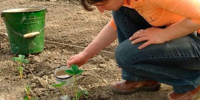 Подкормка клубники весной: виды удобрений, этапы их внесения