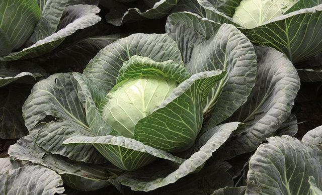 Капуста Ринда: описание гибрида с фото, выращивание, сбор урожая, плюсы и минусы