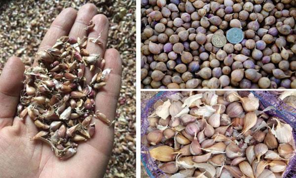 Чеснок Любаша: описание сорта, фото, посадка и выращивание, отзывы