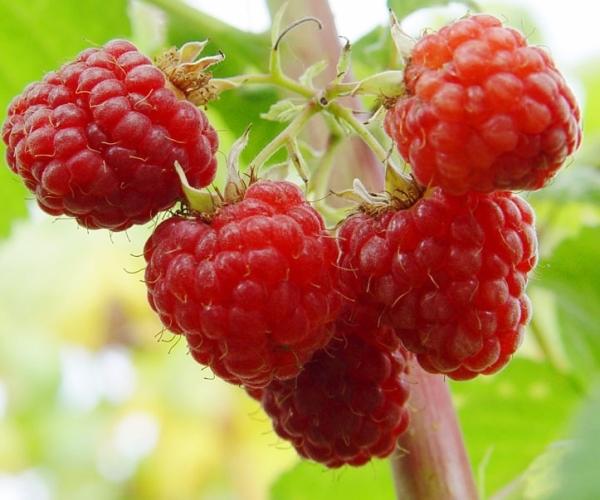 Малина Гусар: описание сорта, фото, плюсы и минусы малины, инструкция по выращиванию, отзывы