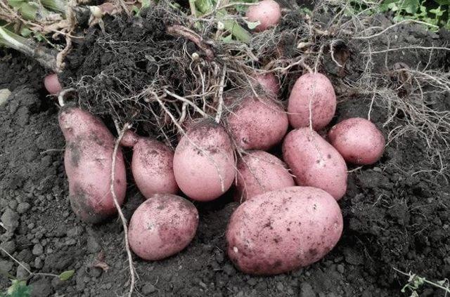 Лучшие сорта раннего картофеля: ультраранние, скороспелые и среднеранние