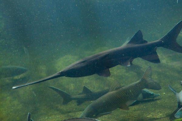 Веслонос: описание, разведение и размножение рыбы