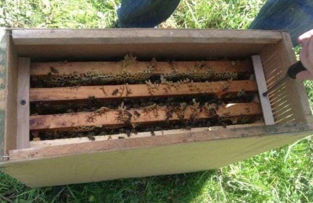 Пересадка пчел из пчелопакета в улей: инсрукции