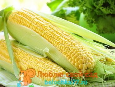 Белая кукуруза: характеристики, сорта, посадка и уход