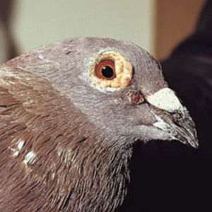 Кокцидиоз у голубей: причины, симптомы, лечение, профилактика