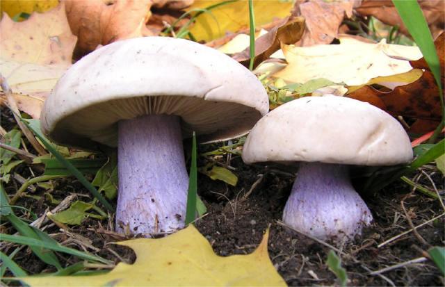 Грибы Ростовской области (съедобные и ядовитые): фото, описание, грибные места и сезонность