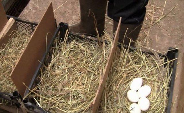 Вольер для цесарок: виды, изготовление, обустройство и содержание птиц