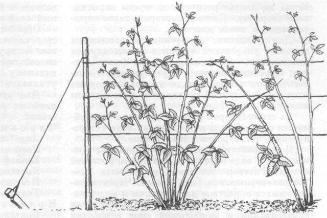 Малина Метеор: описание сорта, фото, плюсы, минусы и правила выращивания, отзывы