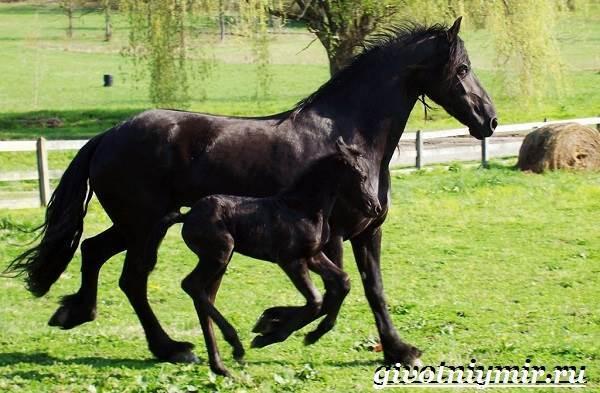 Фризская лошадь: описание породы с фото, правила ухода и содержания
