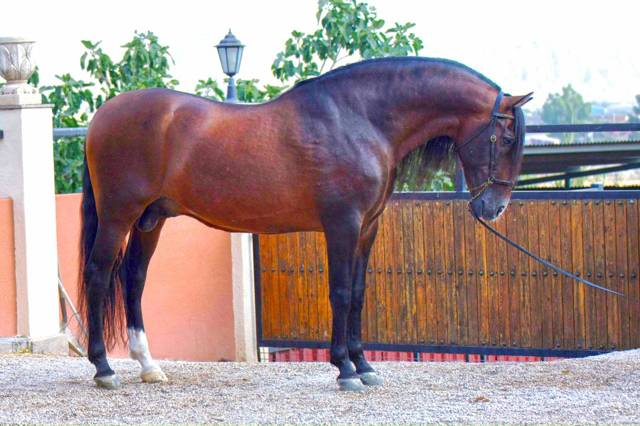Андалузская лошадь: описание породы, фото, содержание, уход, разведение, цены и интересные факты