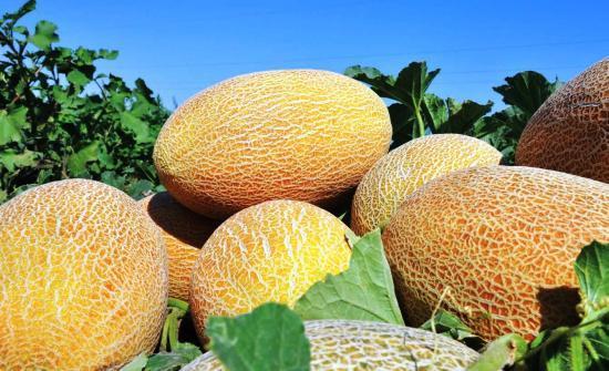 Дыня Алтайская: характеристики, фото, плюсы и минусы сорта, выращивание, отзывы