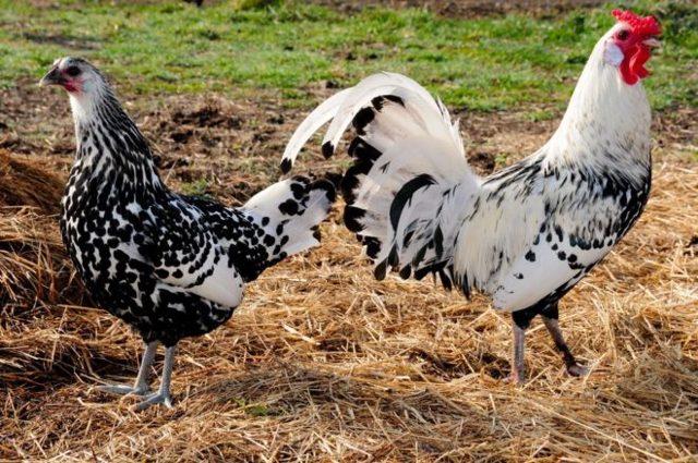 Самые яйценоские породы кур: описание, характеристики и яичная продуктивность