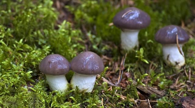 Гриб мокруха: описание, фото, виды, съедобность, где растет, польза и выращивание