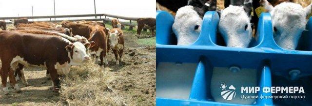 Герефордская порода коров: характеристики, продуктивность, виды, содержание и выращивание