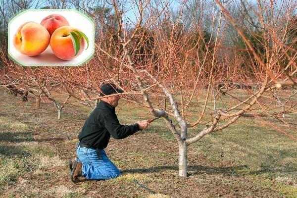 Обрезка персика: пошаговые инструкции, сроки, виды, полезные советы
