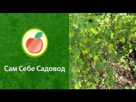 Золотистая смородина: посадка и уход, сорта, фото, отзывы садоводов