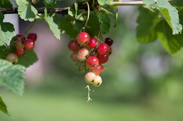Подкормка жимолости: минеральные, фосфорные, органические удобрения и народные средства