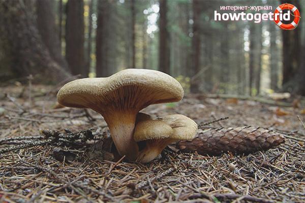 Как проверить – ядовитый гриб или нет: действенные методы и ошибочные поверья
