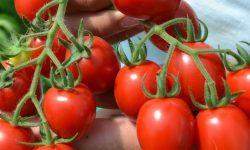 Томат Супермодель: описание сорта, фото, правила ухода и выращивания, отзывы