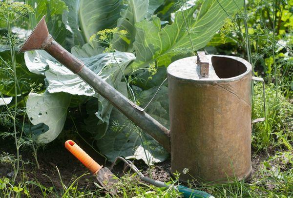 Полив свеклы в открытом грунте: регулярность, нормы, методы