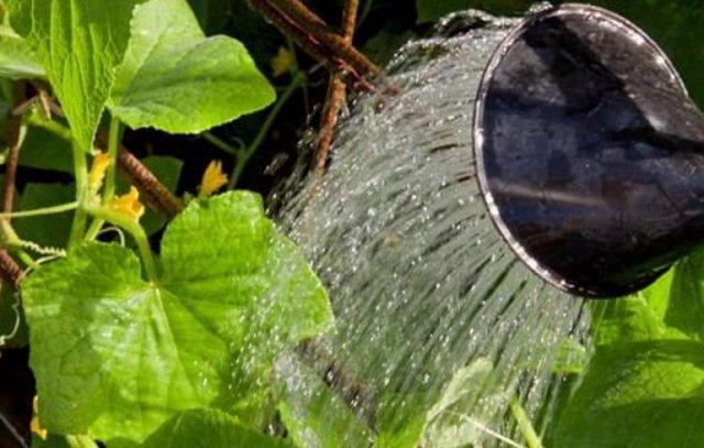 Огурец Зозуля: описание сорта, фото, правила посадки и ухода за кустом, сбор урожая