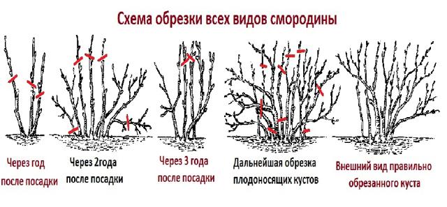 Обрезка смородины осенью: способы и пошаговые рекомендации