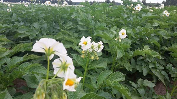 Окучивание картофеля: как и когда выполнять, инструменты