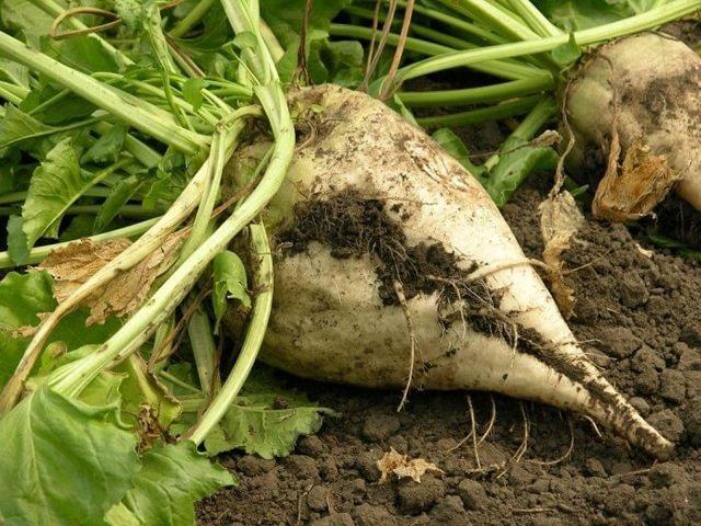 Основные сведения о сахарной свекле: посев, выращивание, уход