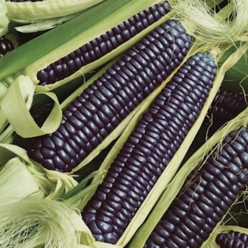 Черная кукуруза: характеристики, фото, посадка и уход, хранение урожая
