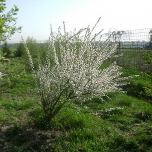 Сорта вишни: описание лучших экземпляров, названия, фото