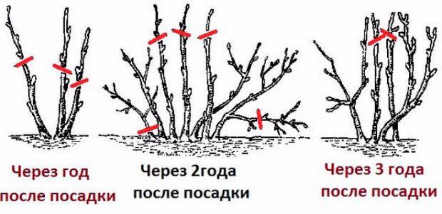Обрезка смородины весной: плюсы и минусы, сроки и правила проведения процедуры