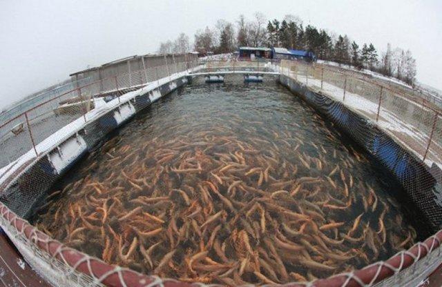 Разведение форели в домашних условиях: технология выращивания рыбы