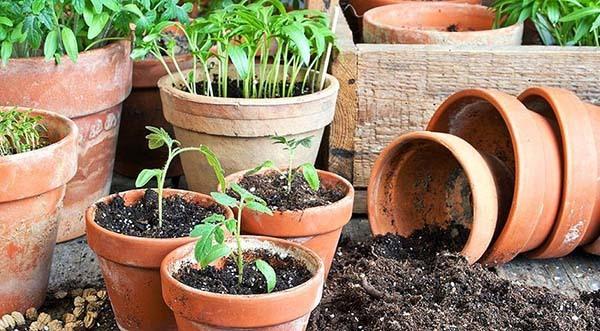 Выращивание рассады томатов: правила посева и ухода
