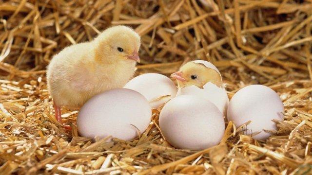 Брудер для цыплят своими руками: пошаговые инструкции, чертежи, видео
