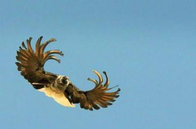 Голуби серпастые: описание, фото, характеристики, уход, содержание и разведение птицы