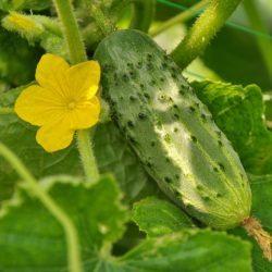 Огурец Конкурент: особенности сорта, фото, выращивание, отзывы