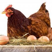 Можно ли мыть яйца перед закладкой в инкубатор? Способы чистки