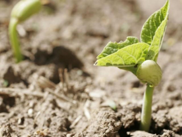 Выращивание фасоли: посадка и уход, борьба с вредителями, сбор и хранение урожая