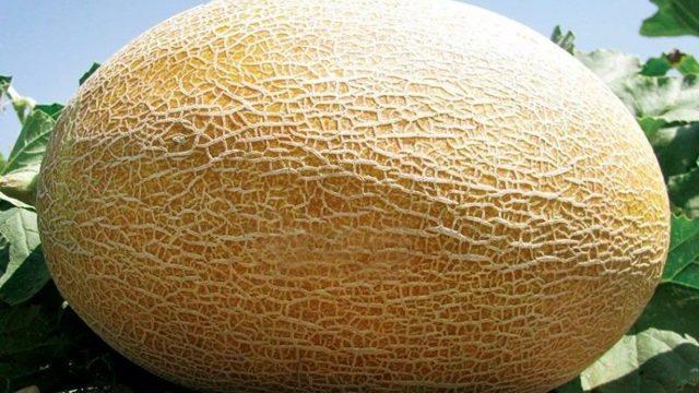 Дыня Амал: описание сорта, фото, технология выращивания, отзывы