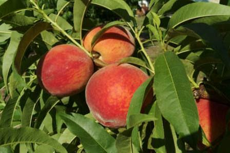 Лучшие сорта персиков: ранние, поздние, морозоустойчивые, самоопыляемые