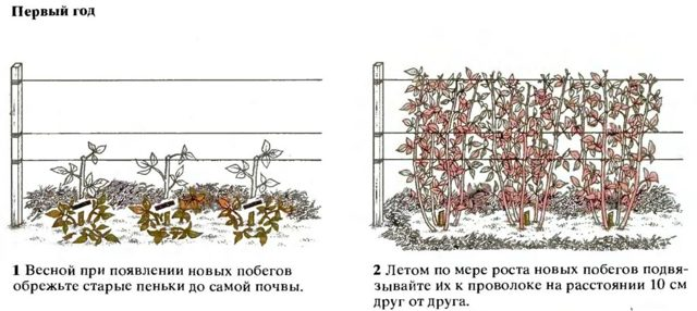 Малина Брусвяна: описание сорта, фото, отзывы, правила посадки и ухода