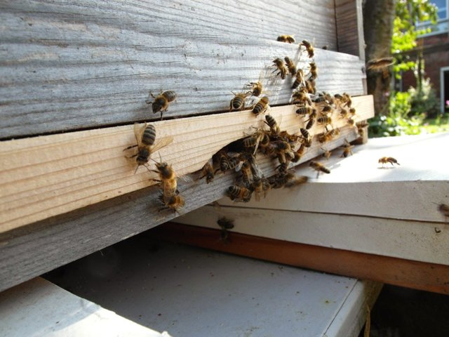 Пчелы Бакфаст: описание, характеристика и особенности содержания породы