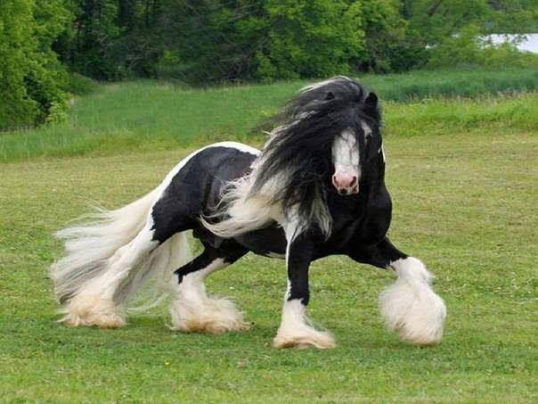 Тинкер (цыганская упряжная лошадь, ирландский коб): описание породы с фото, условия содержания